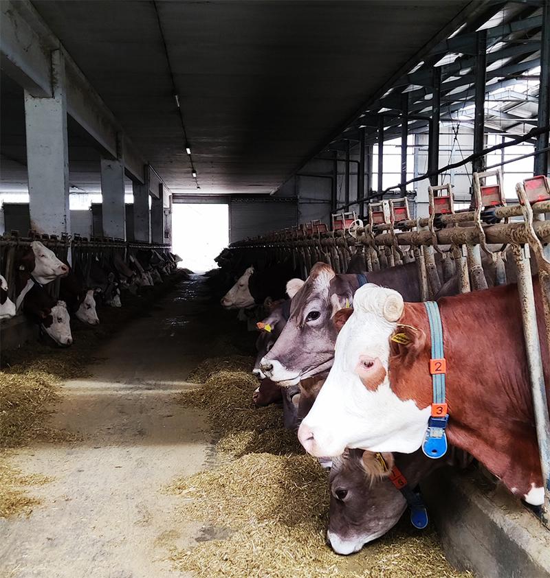 Stalla mucche Parco delle Bontà Forenza.